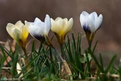Vier Kokusse, davon zwei mit weißer Blüte und zwei mit beige gefärbter Blüte