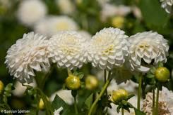Vier weiße Blüten einer Ball-Dahlie