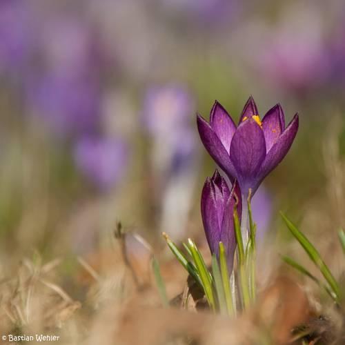 Violett blühender Krokus