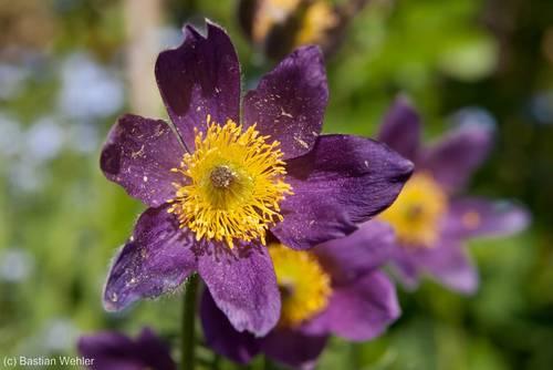 Violette Blüte der Gewöhnlichen Kuhschelle (Pulsatilla vulgaris)