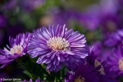 Violette Blüte einer Herbst-Aster