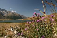 Violette Flockenblumen mit dem Lac du Pontet im Hintergrund
