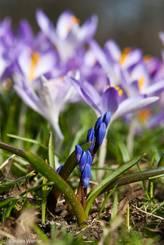 Vor dem Hintergrund aus violetten Krokussen kommen die blaue Blüten zweier Sternhyazinthen aus dem Boden