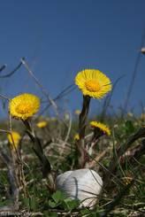Weinbergschnecke (Helix pomatia) vor Blüten des Huflattichs (Tussilago farfara)