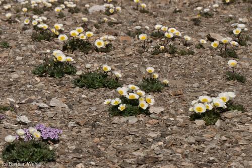 Weiß blühender Gletscher-Hahnenfuß (Ranunculus glacialis) auf etwa 2850 Metern Höhe am Cime de la Bonette in den französischen Alpen