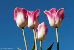 Weiß-rosa blühende Tulpen im Frühling 2011