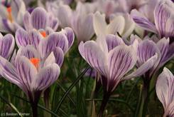 Weiß-violett gestreifte Krokusblüten