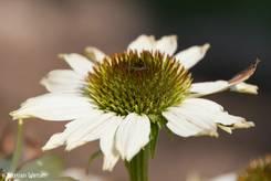 Weiße Blüte eines Purpur-Sonnenhuts
