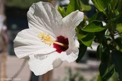 Weiße Hibiskus-Blüte