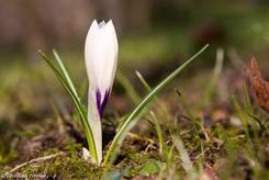 Weiße Krokusblüte mit lila Ansatz