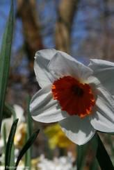 Weiße Narzissenblüte mit rötlichem Inneren