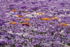 Wiese voller bunter Krokusse im Frühjahr 2010