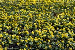 Wiese voller gelb blühender Winterlinge