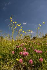 Wildblumenwiese mit Scharfem Hahnenfuß und Rot-Klee