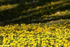 Zahlreiche Winterlinge blühen im Stadtpark von Lübeck