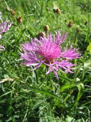 Zart violette Flockenblume am Wegrand