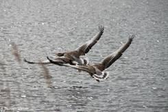 Zwei Graugänse kurz nach dem Abheben von der Wasseroberfläche im Lübecker Naturschutzgebiet Schellbruch