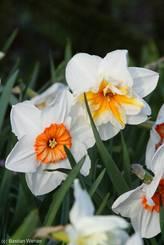 Zwei Narzissenblüten, eine weiß mit rötlichem Inneren, eine weiß mit gelbem Inneren