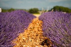Zwei Reihen blühender Lavendel