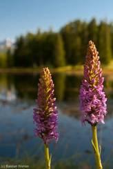 Zwei rosa-farbende  Orchideenblüten mit dem Lac de la Roue im Hintergrund