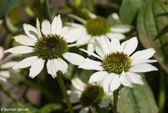 Zwei weiße Blüten eines Purpur-Sonnenhuts