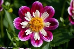 Zweifarbige Blüte einer Halskrausen-Dahlie in violett und weiß